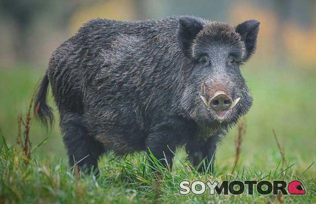 Qué hacer si un jabalí se cruza en nuestro camino - SoyMotor.com