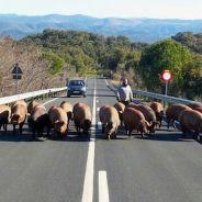 Excrementos porcinos, el nuevo pavimento para carreteras